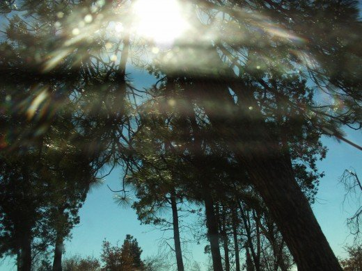Sun filtering through the tall pine trees.