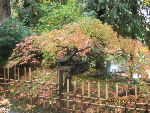 Fall spectacular color display of the Japanese maples
