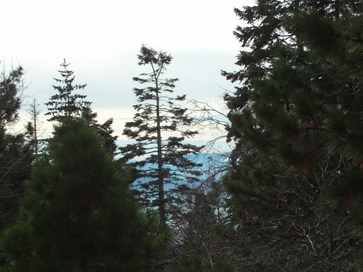 Beautiful pine trees can be seen along the Rim of the World Highway.