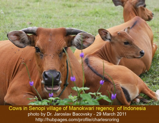 Cows in Senopi village of Manokwari regency of Indonesia