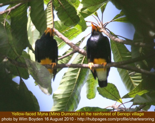 Yellow Faced Myna from the tropical rainforest of Senopi village in Manokwari regency of Indonesia