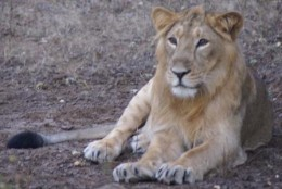 Asiatic Lion at Gir Forest National Park