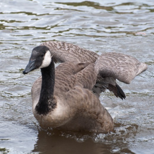 Young Canada goose testing her wings.