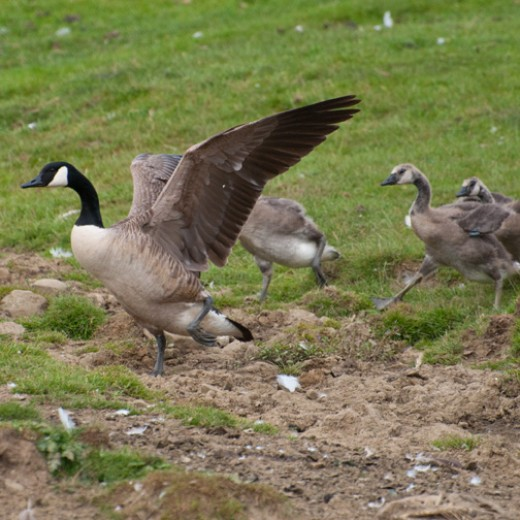 Canada goose teaching young to fly