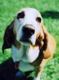 Basset Hound Dog Breed Facts & Basset Hound Information
