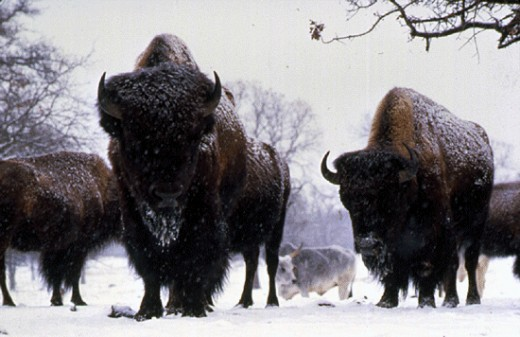 Buffalo at the Woolaroc Ranch
