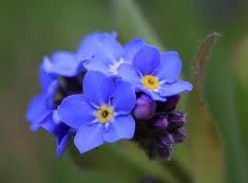 Forget-me-not - (a poem)