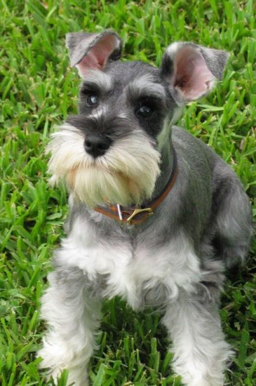A Schnauzer dog - dog training secrets