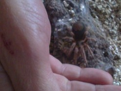 New to the Molt. Grammostola rosea Tarantula