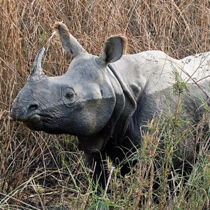 Greater-one- horned Rhino