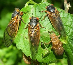 Cicada Invasion: How To Save Your Trees and Shrubs