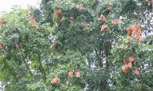 Damage done by periodical cicada brood.