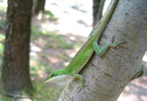 An Anole Lizard