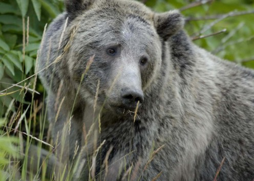 The Grizzly Bear is Deadly But Misunderstood.   Photo courtesy of Wikipedia Commons Public Domain Submitted by US Fish and Wildlife Services