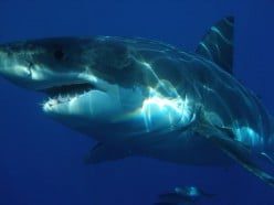 The Great White Is a Known Man Eater.  Photo Courtesy of Wikipedia Commons Public Domain Submitted by Sharkdiver68