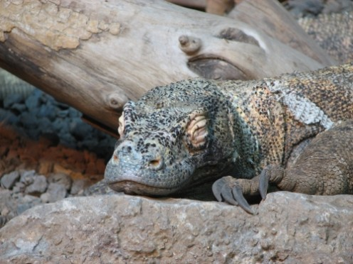 Notice The Huge Claws on this Sleeping Komodo.  Photo Courtesy of Wikipedia Commons Public Domain Submitted by Ltshears