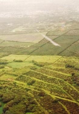 Macadamia nut tree farming below