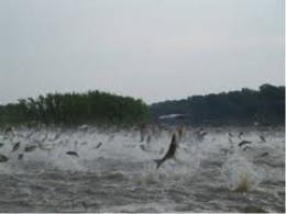 A mass of jumping Silver Carp