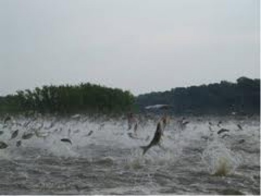 A mass of jumping Silver Carp