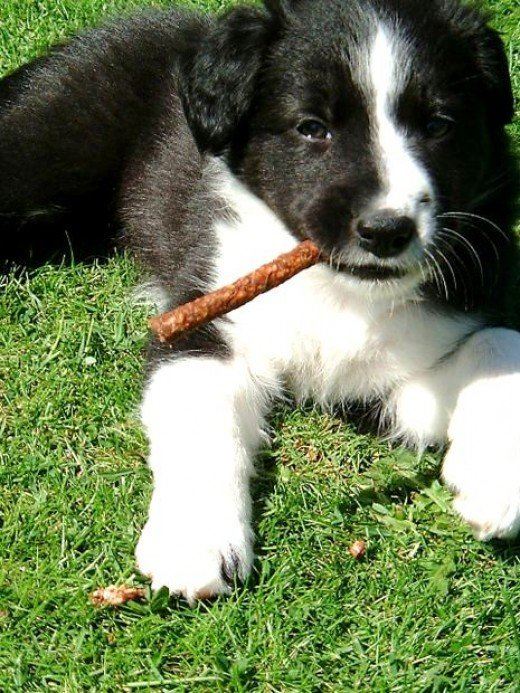 adorable border collie puppy photo