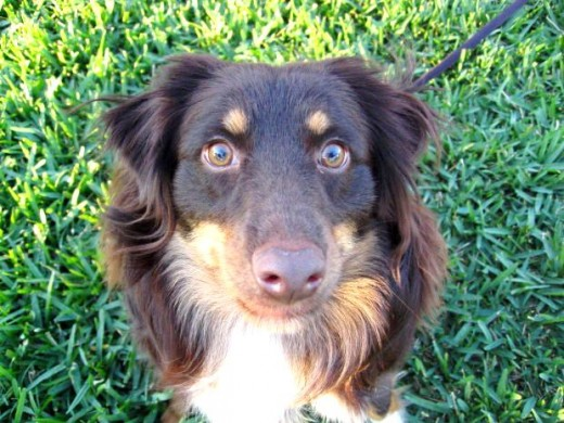 border collie mix pictures