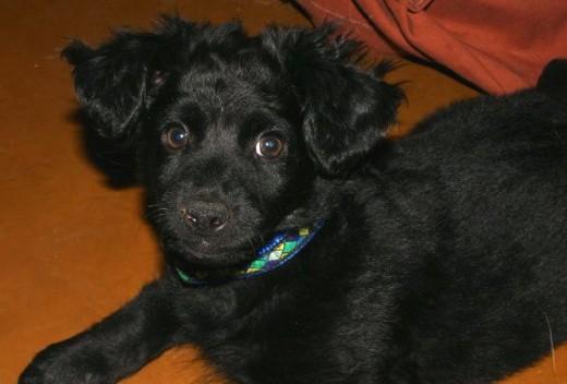 border collie puppy mix pic