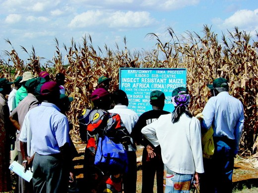 BT corn being introduced to Africa, will Terminator genes cause famines? The poorest farmers now need Monsanto