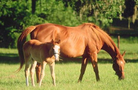 saddlebred foal picture