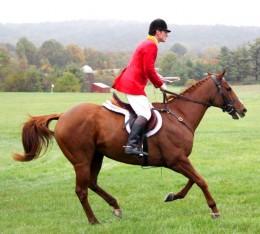 the american saddlebred horse