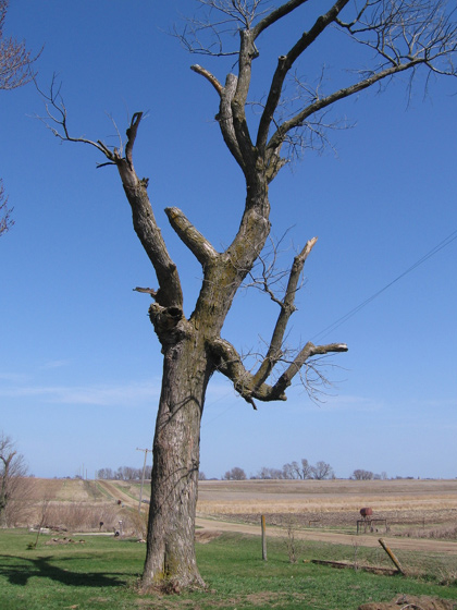 The Ugly Tree!