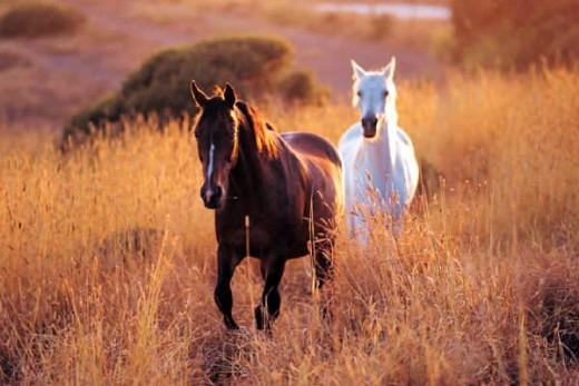 Holstein Horses pic