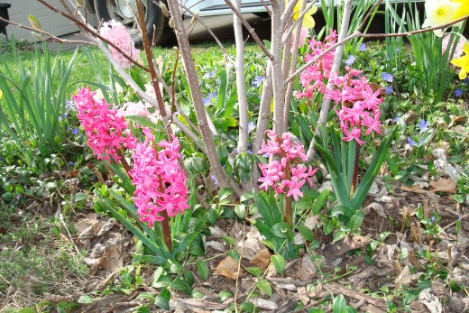 Add color after a long colorless, winter with spring bulbs
