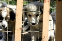 DOG AUCTIONS and PUPPY MILLS ~ What Really Goes On?