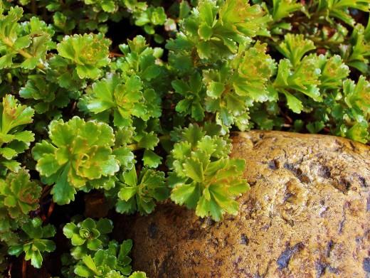 Sedum Sprouting