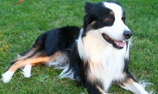 the border collie pic