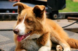 red border collie pic