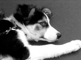 puppy border collie photo