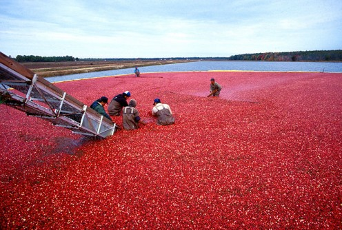 New Jersey is one of th eTop Three States in cranberry production. Cranberries are known for their health properties.