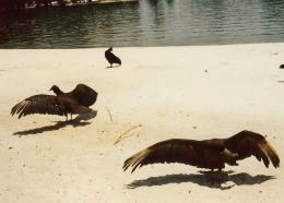 Scavengers drying their feathers on the beach