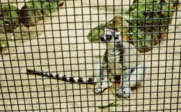 Ring-tailed lemur from Madagascar