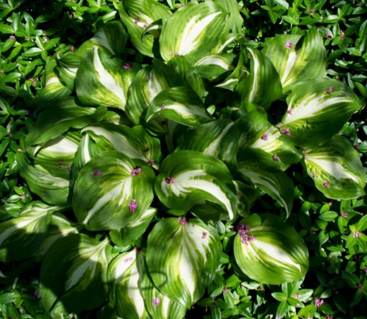 American Sweetheart Hosta