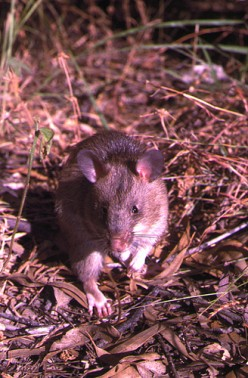 The African Giant Pouched Rat Husbandry: Characteristics, A Pet, And Bush Meat