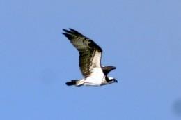 Al Ventimiglia photo of Osprey