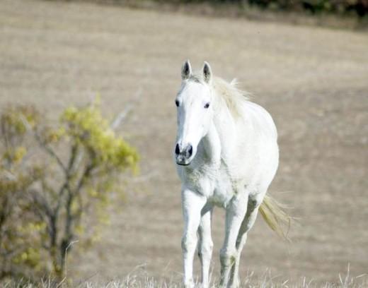Wild White Horse Photo
