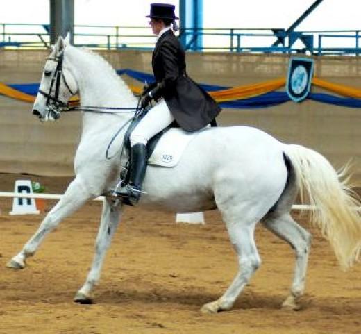 White Dressage Horse image