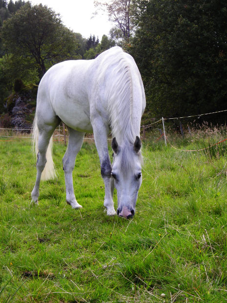 Grey Horse Pic