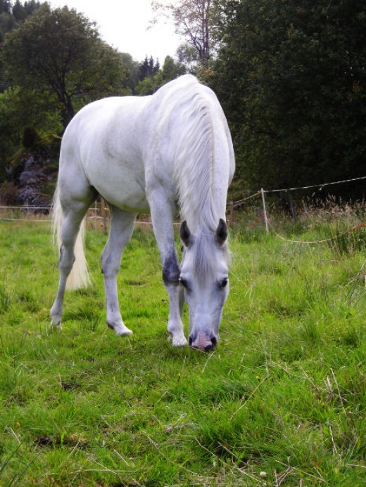 Grey Horse Pic