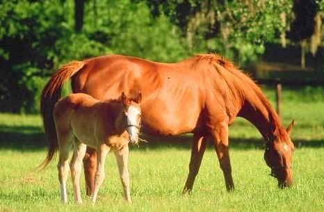 Chestnut Horse photos and Chestnut Foal Picture