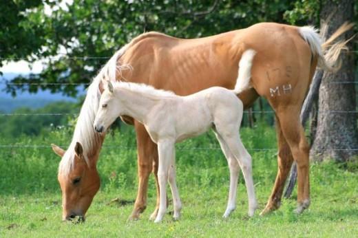 palomino mare and palomino foal