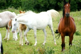 The Wild Brumby Horse